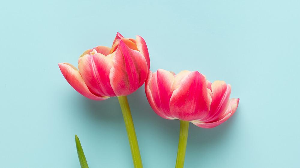 free plants desktop wallpaper with no calendar tulips