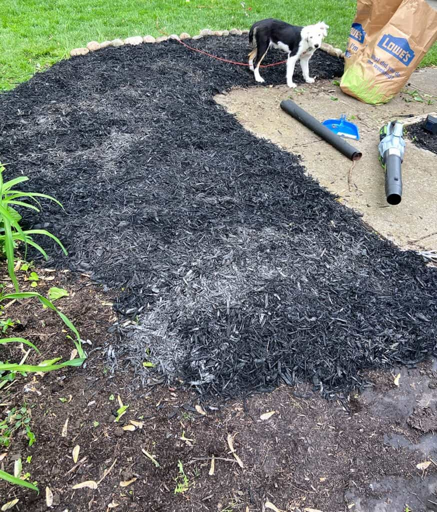 tearing out overgrown weeds from landscaping and mulching