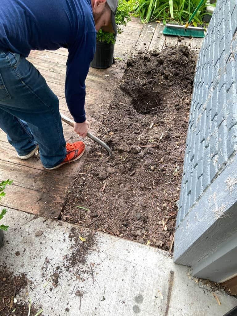 planting boxwood bushes