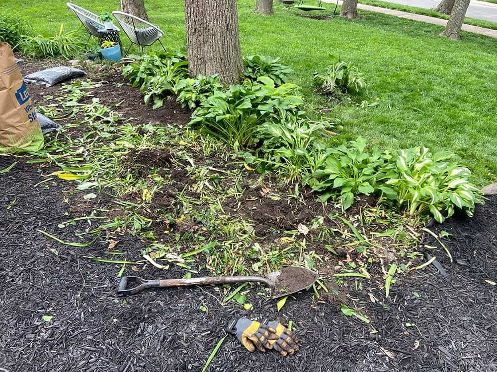 tearing out overgrown lilies from landscaping